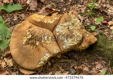 Edible boletus mushrooms in the forest foliage autumn sun. Edible gifts wildlife