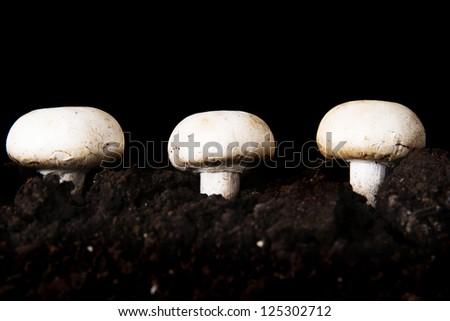 Edible button mushroom, champignon - stock photo