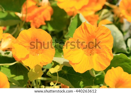 Edible flower Nasturtium yellow