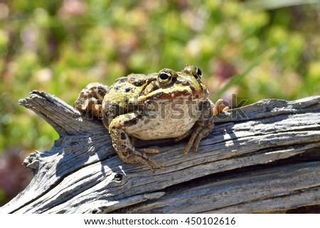 Edible frog (Pelophylax kl. esculentus) resting on a branch in its natural habitat
