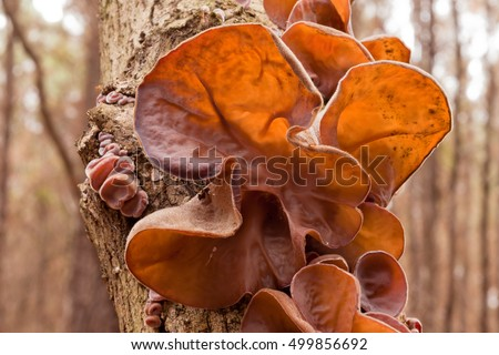Edible Judas Ear mushrooms, Auricularia auricula-judae, growing on tree, a common Chinese vegetable food staple