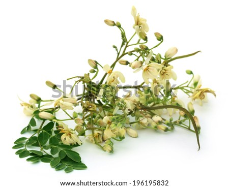 Edible moringa flower with green leaves over white background - stock photo