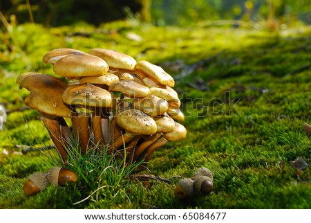 edible mushroom bunch acorn on moss forest floor - stock photo