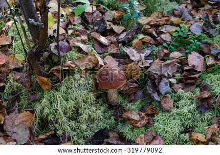 Edible mushroom (Leccinum Aurantiacum) with orange caps - stock photo