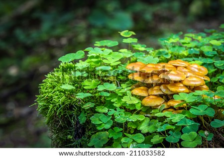 Edible mushrooms with excellent taste, Kuehneromyces mutabilis - stock photo