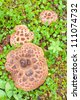 Edible Shingled Hedgehog Mushroom, Hydnum imbricatum, growing among moss and leafy plants on green forest floor - stock photo