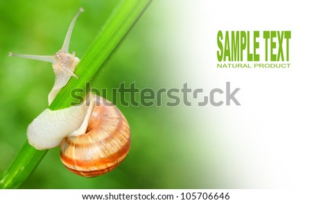 Edible snail (Helix pomatia) on the grass. Snails provide an easily harvested source of protein to many people around the world.  Picture with space for your text. - stock photo