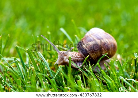edible snail in grass - macro photography