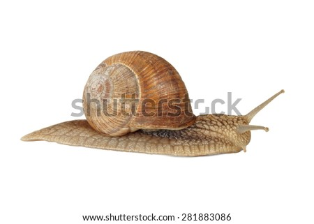 Edible snail isolated on white background. - stock photo