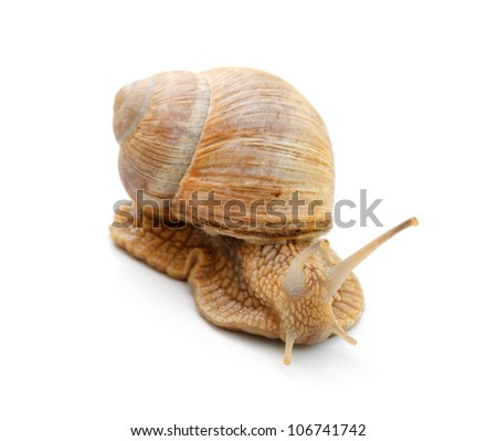 edible snail isolated over white - stock photo