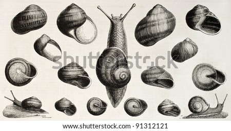 Edible snails old illustration (Helix pomatia, aperta, aspersa, vermiculata, lactea, pisana, nemoralis). Created by Ligneville, published on L'Illustration, Journal Universel, Paris, 1858 - stock photo
