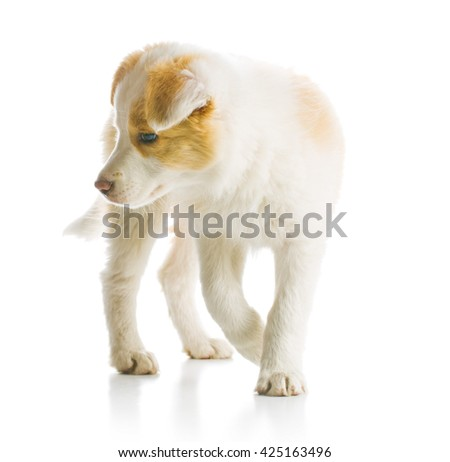 Ee red Border Collie puppy. Young dog isolated on white background.