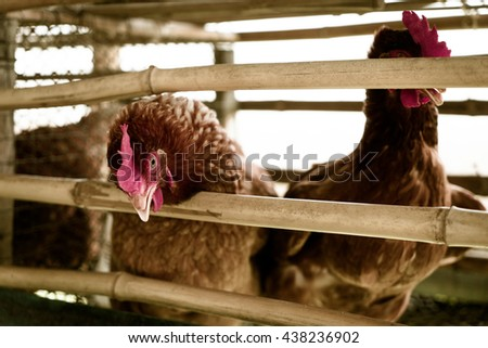 Egg Chicken Hen in Bamboo wooden fence. Country Local Village Chicken farming. Chicken laying Egg in Chicken farm. Thai rural chicken egg farming production. - stock photo