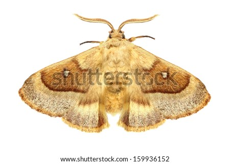 Eggar moth (Lasiocampa grandis) isolated on the white background - stock photo