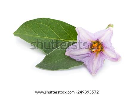 Eggplant flower vegetable closeup isolated on white background - stock photo