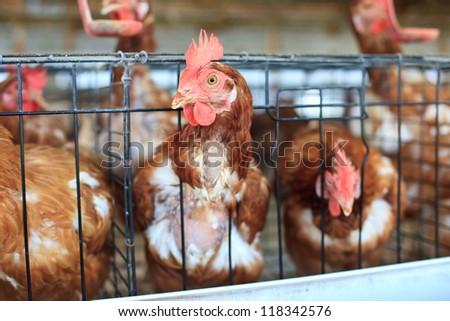 Eggs chicken farm - stock photo