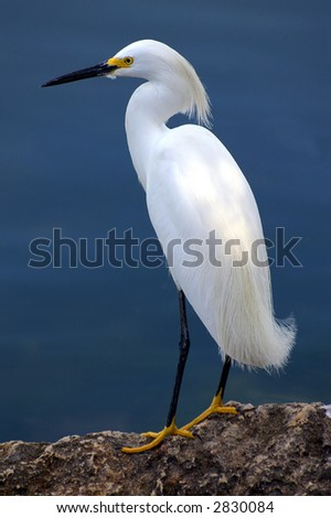 egret focus on scanning a harbor for food - stock photo