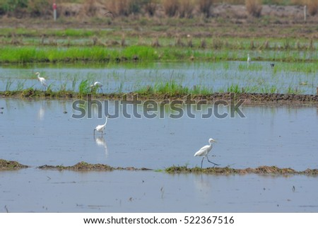 egret in paddy field