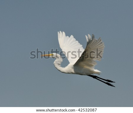 Egret soars into blue sky