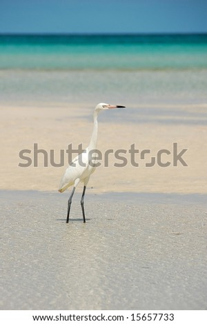 Egret walking on Caribbean beach. - stock photo