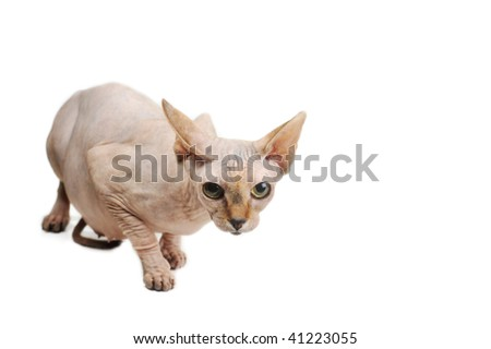egyptian bald cat on white background