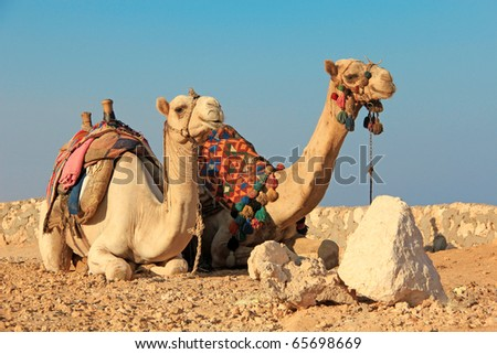 Egyptian camels - stock photo