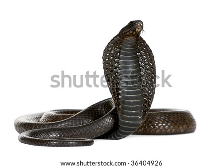 Egyptian Cobra, Naja Haje, against white background, studio shot - stock photo