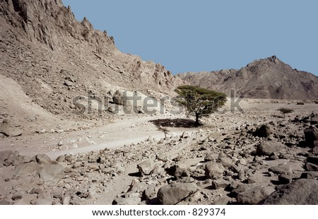 Egyptian dessert's landscape with a lone tree. Scan of original medium format's negative. - stock photo
