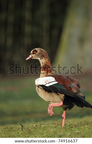 Egyptian Goose (Alopochen aegyptiacus) sitting on a meadow.