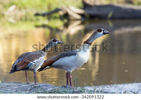 Egyptian goose couple in Kruger national park, South Africa ; Specie Alopochen aegyptiaca family of anatidae - stock photo