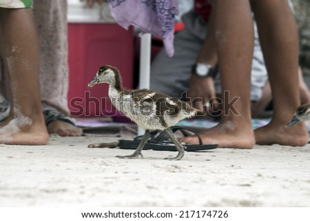 Egyptian gosling walking amongst holidaymakers on a beach in Sou - stock photo