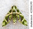 Egyptian hawkmoth - stock photo