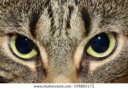Egyptian Mau - cat's eyes