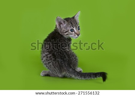 Egyptian Mau kitten isolated on a colored background - stock photo