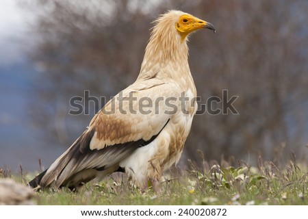 Egyptian Vulture (Neophron percnopterus), spain - stock photo