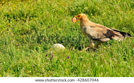 Egyptian vulture with a stone in its beak to break an egg. - stock photo