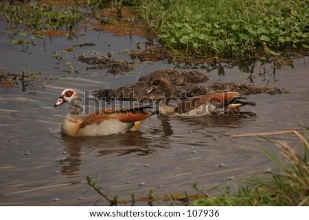 Egyption geese 1,04 - stock photo