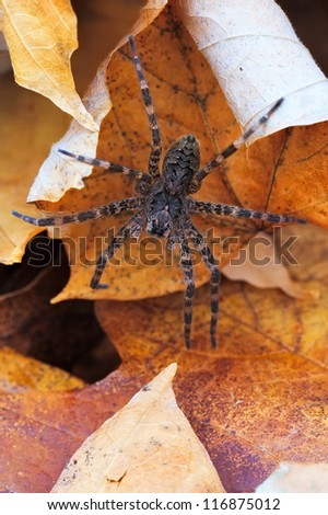 eight hairy legs at rest in a bed of autumn leaves, a wolf spider awaits unsuspecting prey.