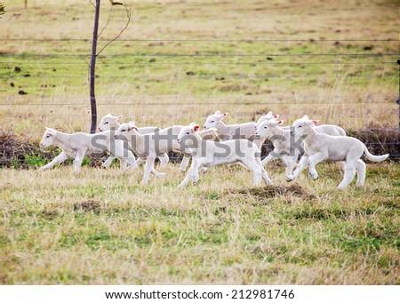 eight suffolk lambs running through a field - stock photo