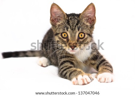 Eight weeks old tiger (tabby) pattern kitten with white paws laying on a bed at attention - stock photo