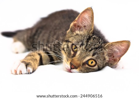 Eight weeks old tiger (tabby) pattern kitten with white paws laying relaxed on a bed - stock photo