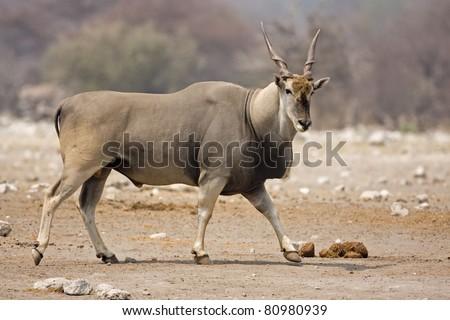 Eland bull walking on rocky terrain;Taurotragus oryx - stock photo