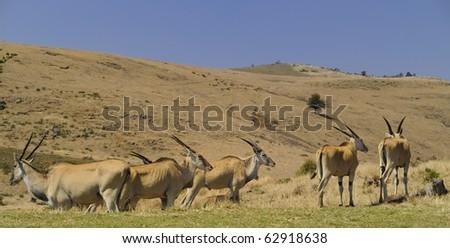 Eland (Cape or Livingstone's) (Tragelaphus oryx). Largest of all the world's antelope.  Drakensberg, South Africa. - stock photo