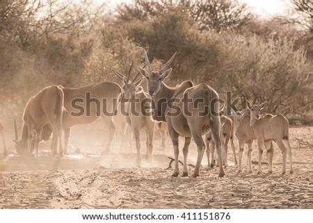 Eland group (Taurotragus oryx) of adults and calves at waterhole, Namibia - stock photo