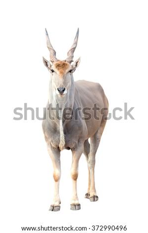 eland (Taurotragus oryx) isolated on white background - stock photo