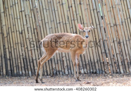 Eld's deer (Panolia eldii), also known as the thamin or brow-antlered deer, is an endangered species of deer indigenous to Southeast Asia. - stock photo