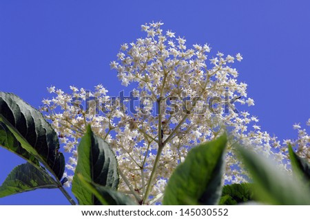 Elder flowers against the light - stock photo