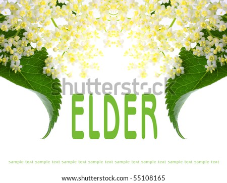 Elder picture with easy removable text. Sambucus nigra - Elder - The flowers and berries are used most often medicinally. - stock photo
