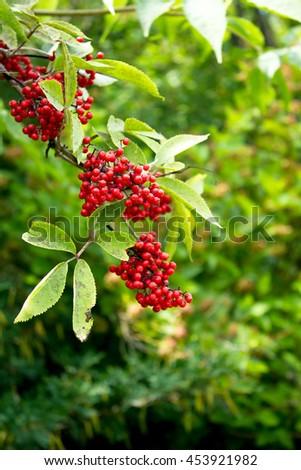 elder - red berries - stock photo