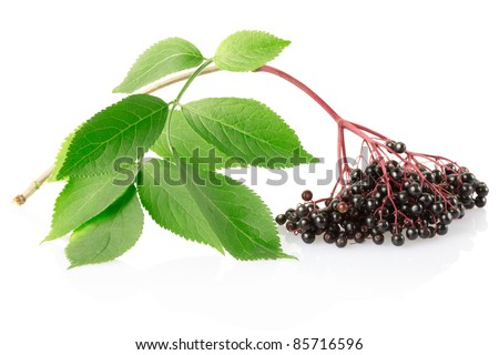 Elderberry branch isolated on white, clipping path included - stock photo